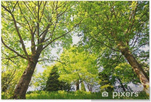 Poster Beaux arbres de printemps dans le parc - Saisons