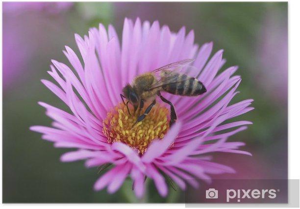 Poster Bee recueillir le pollen de la fleur d'aster - Autres Autres