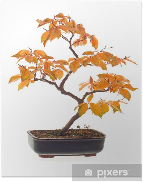 Beech bonsai in autumn colors Poster - Trees