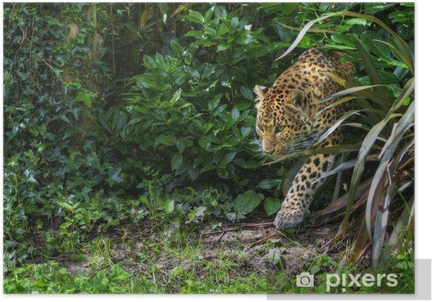 Poster Belle léopard Panthera Pardus grand chat parmi le feuillage - Mammifères