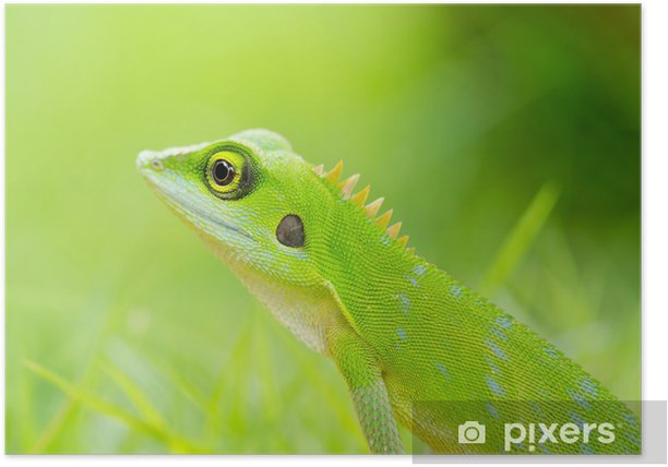 Poster Belle lézard gecko vert - Thèmes