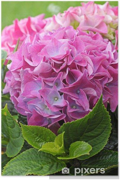 Poster Belles fleurs hydranea près - Arrière plans
