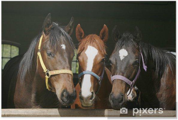 Poster Belles poulains pur-sang dans stable. - iStaging