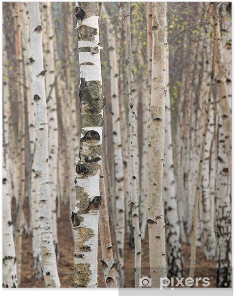 Poster Berken bomen in het voorjaar - Stijlen
