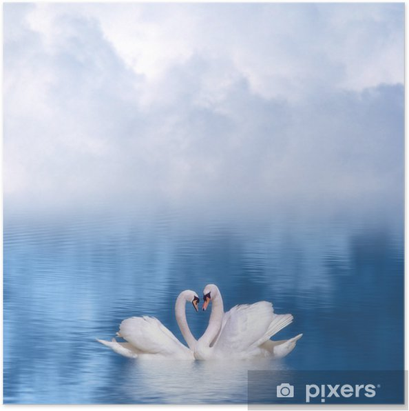 Poster Bevallige zwanen in de liefde - Zwanen