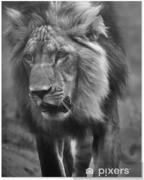 Black And White Lion Poster Africa