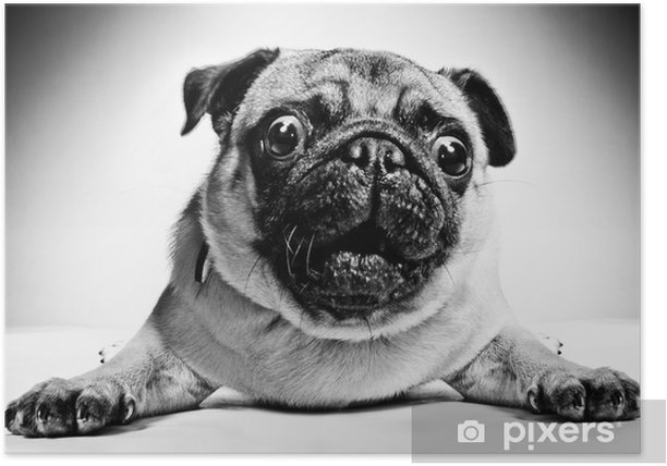 Black and white portrait of a pug Poster - Pugs