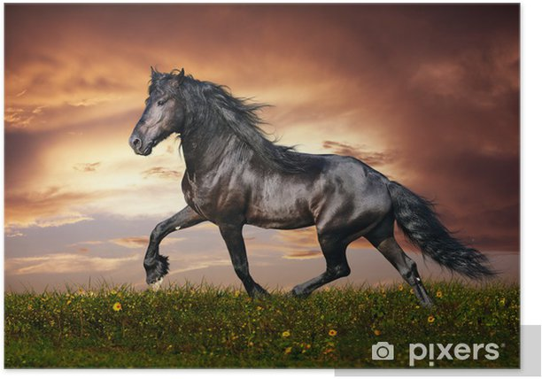 Black Friesian horse trot Poster - Themes