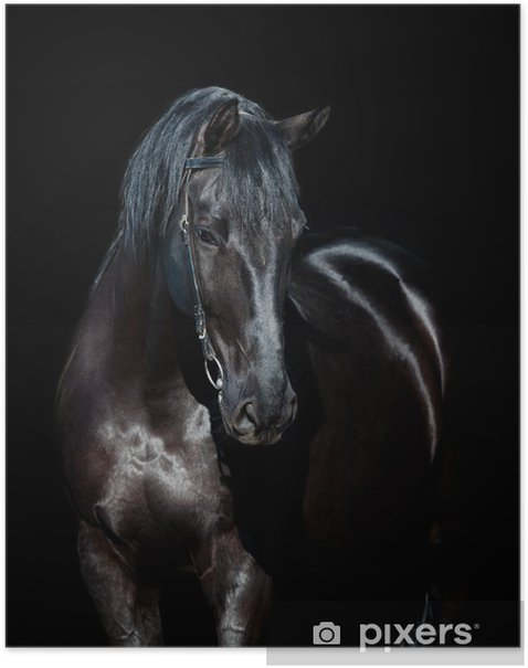 Black horse isolated on black background Poster - iStaging