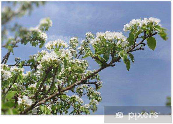 Poster Blanc fleurs de cerisier - Arbres