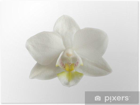 Poster Blanc tête de Orhid - Fleurs