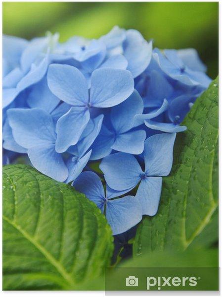 Blaue Hortensie Poster Pixers We Live To Change