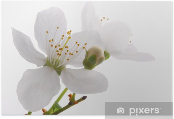 Bloomer_ white apple blossoms Poster - Apple trees
