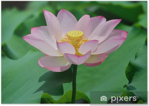 Blooming Lotus Flower Poster Pixers We Live To Change