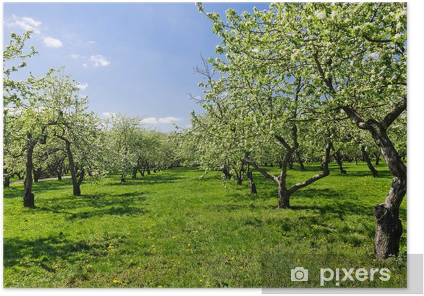 blooming of decorative white apple trees Poster - Apple trees