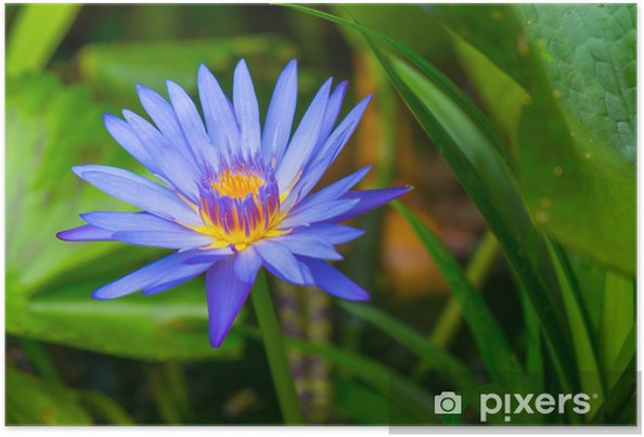 Blue Lotus Flower Poster Pixers We Live To Change
