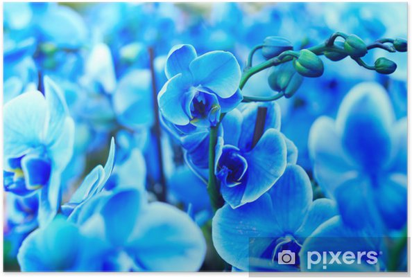 Poster Blue orchid - Plantes