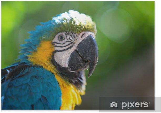 Poster Blue Parrot ara d'or - Amérique