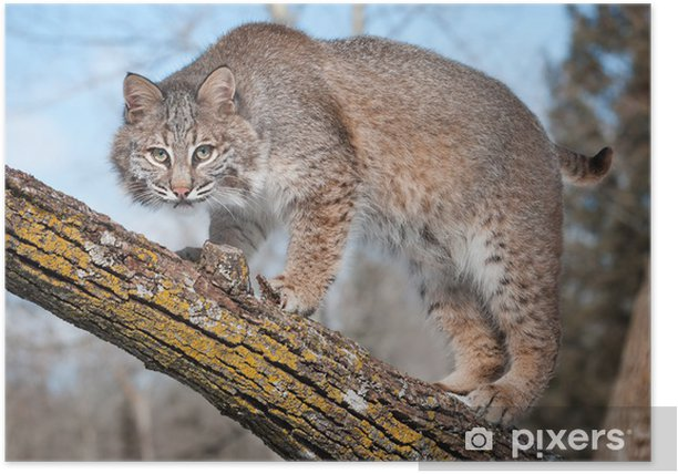 Bobcat (Lynx rufus) Stare at Viewer From Tree Branch Poster - Seasons