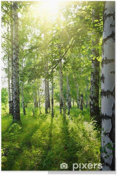 Poster Bois de bouleaux en été avec le soleil - Destin