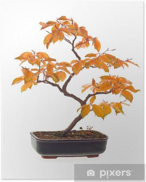 Póster Bonsai de haya en colores del otoño - Árboles