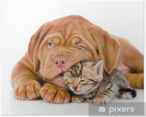 Bordeaux puppy dog playing with bengal kitten. isolated Poster -