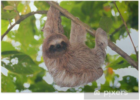 Poster Brown gorge paresse dans la jungle - Mammifères