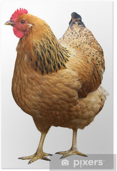 Brown hen isolated on a white background. Poster - Agriculture
