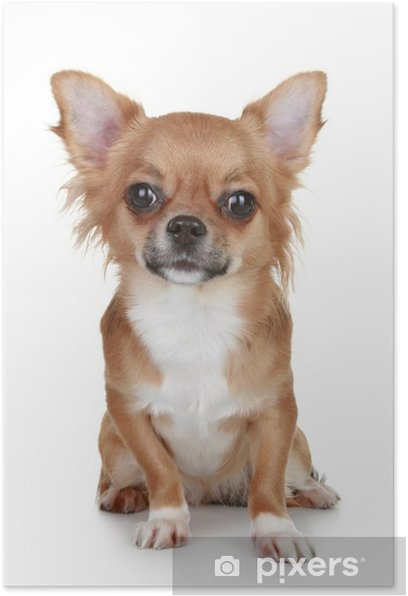 Brown Long Haired Chihuahua Puppy Poster