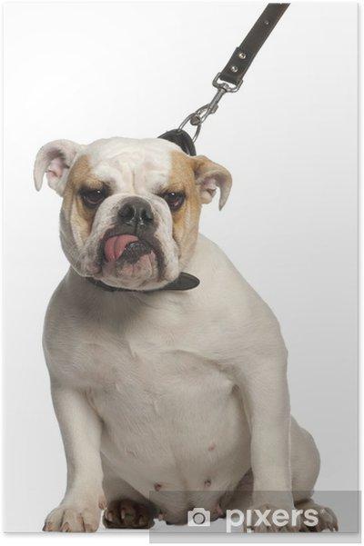 Poster Bulldog Anglais en laisse, 1 an, en face de blanc - Criteo