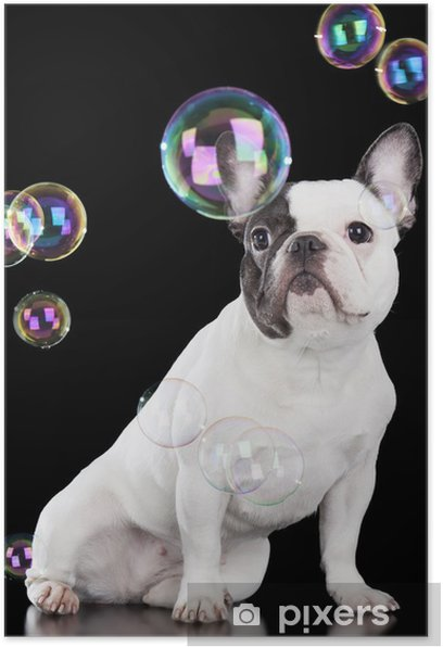 Poster Bulldog french - Bouledogues français