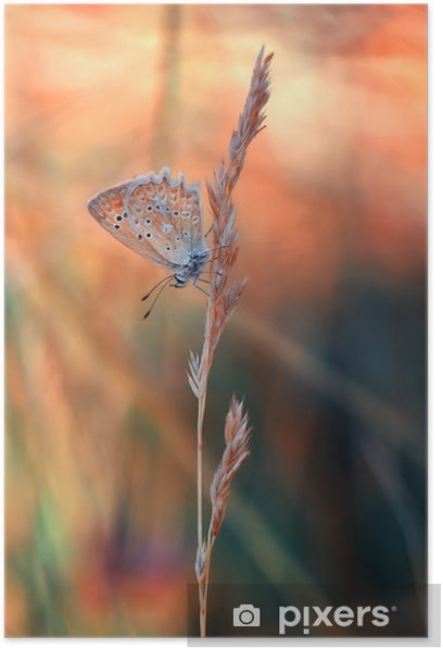 Butterfly Poster - Animals