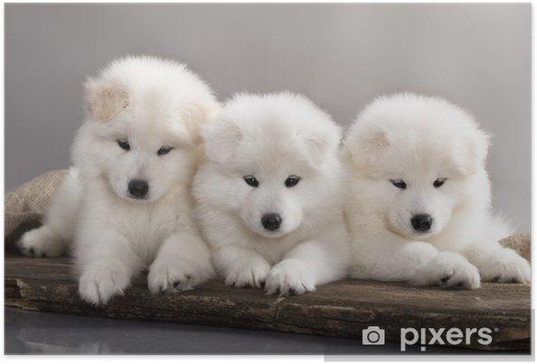Póster Cachorros de perro samoyedo divertidos - Mamíferos