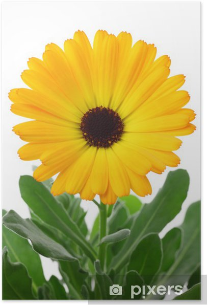 Poster Calendula officinalis - Fleurs