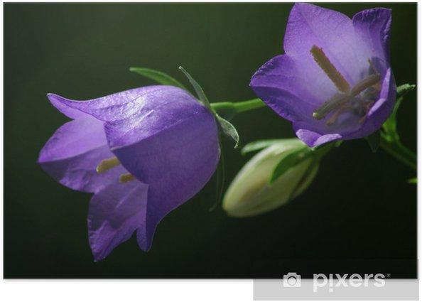 Poster Campanula1 - Fleurs