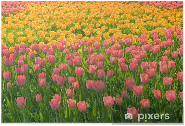 Póster Campo de tulipanes amarillos rosas con tallos verdes de hierba - Temas
