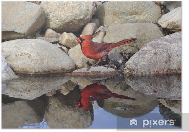 Poster Cardinal - Oiseaux