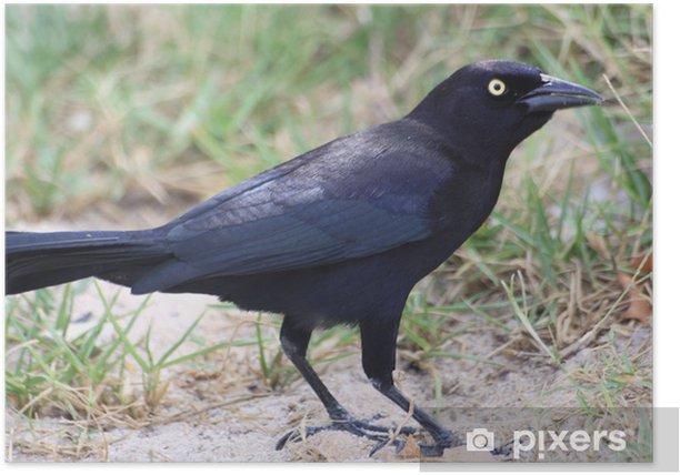 Poster Caribbean grackle, l'oiseau noir - Oiseaux