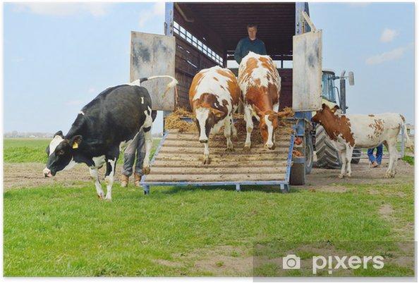 Poster Catlle de vaches sauter d'un camion de transport dans la prairie - Agriculture