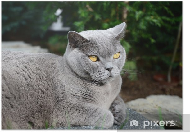 Cats life - british shorthair Poster - Mammals