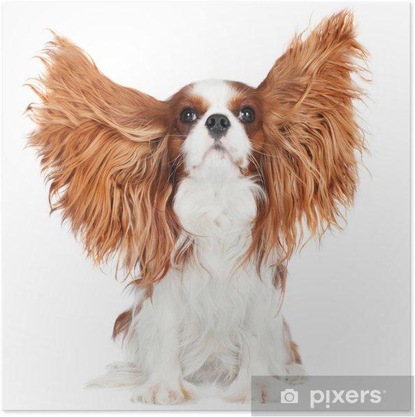 Poster Cavalier king charles spaniel chien avec des oreilles dans l'air - Mammifères