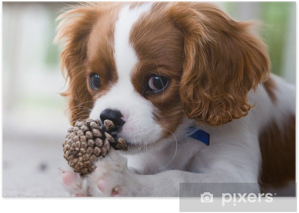 Cavalier King Charles Spaniel Puppy Poster - Themes