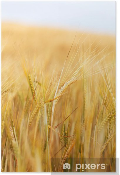 cereal field Poster - Themes