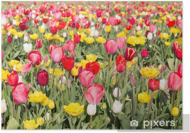 Poster Champ de belles tulipes colorées aux Pays-Bas - Fleurs