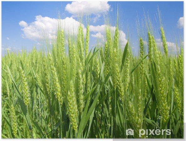 Poster Champ de blé vert. - Agriculture