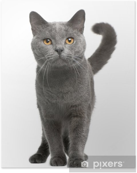 Chartreux cat, 16 months old, standing Poster - Mammals