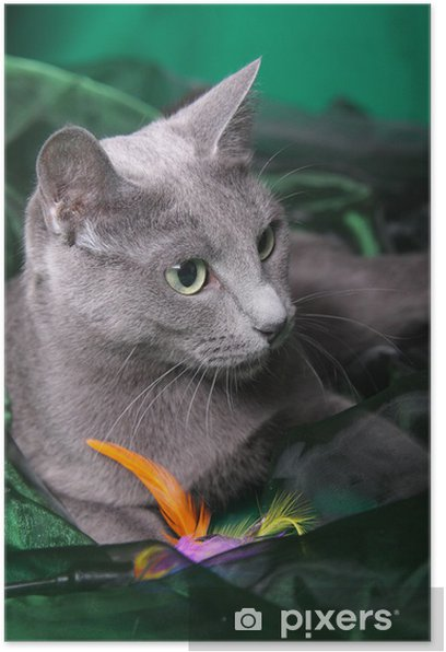 Poster Chat bleu russe - Mammifères