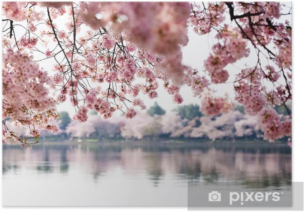 Cherry Blossoms over Tidal Basin in Washington DC Poster - Themes