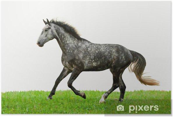 Poster Cheval gris courir sur l'herbe isolé sur blanc - Mammifères
