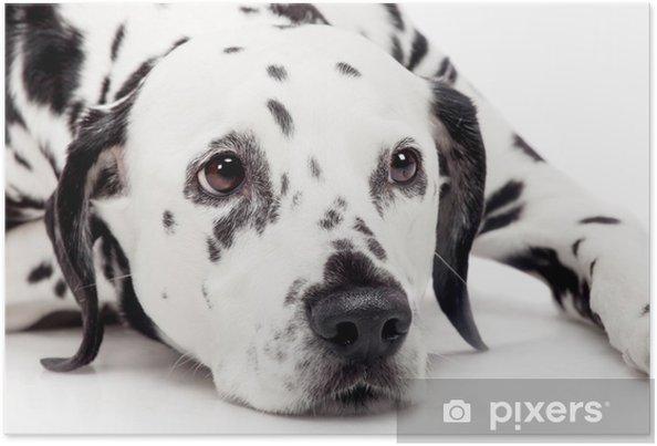Poster Chien dalmatien de beauté, isolé sur fond blanc - Mammifères